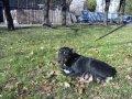 Собака метис добермана.
